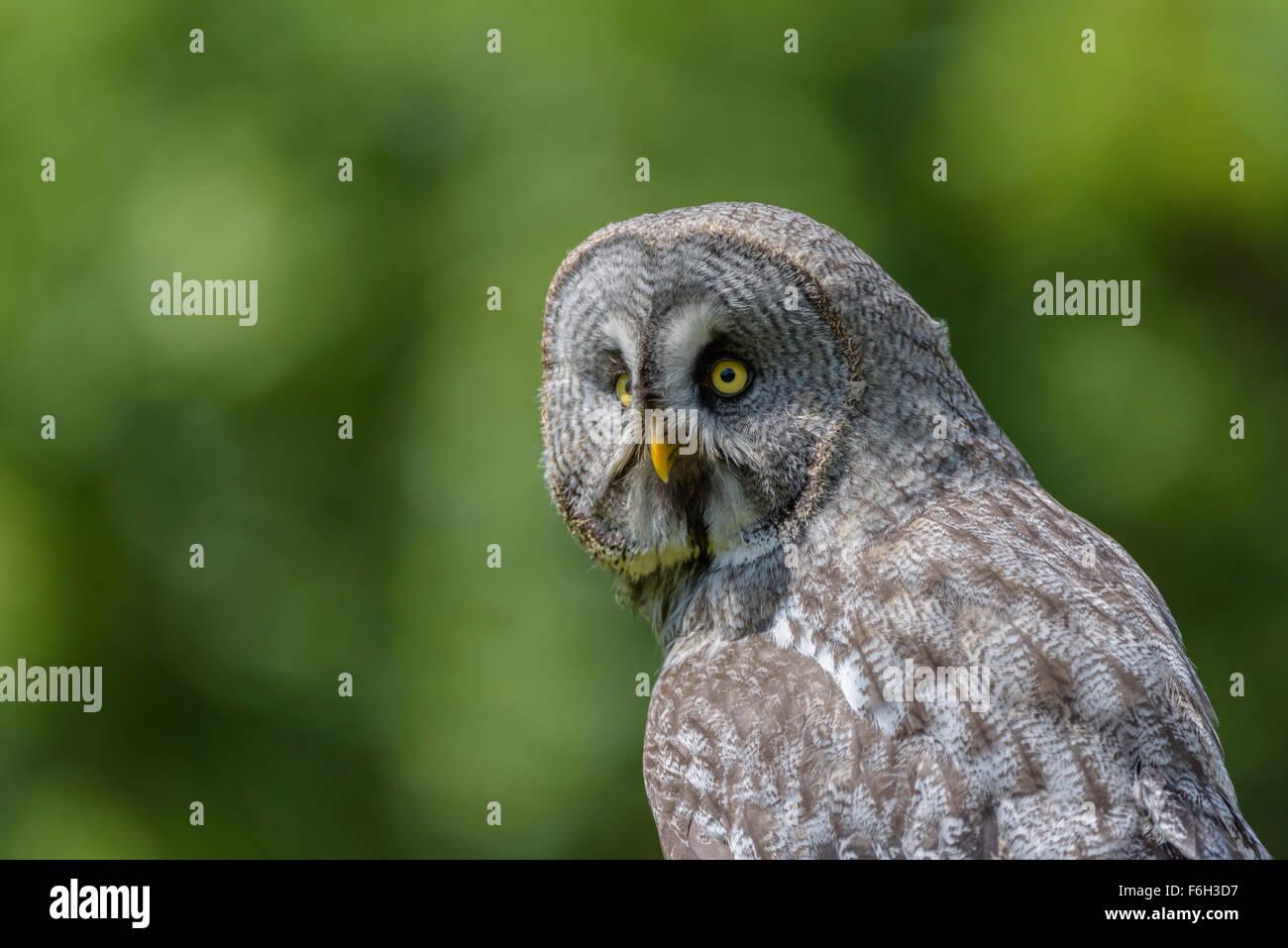 Bartkauz, Strix nebulosa, Great gray owl - Stock Image