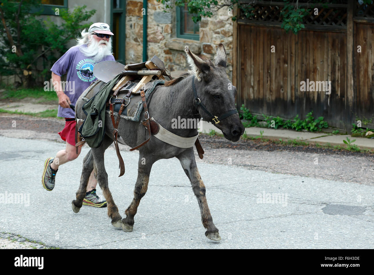 Runner and pack burros, Idaho Springs Tommyknockers Mining Days Festival and Pack Burro Race, Idaho Springs, Colorado - Stock Image
