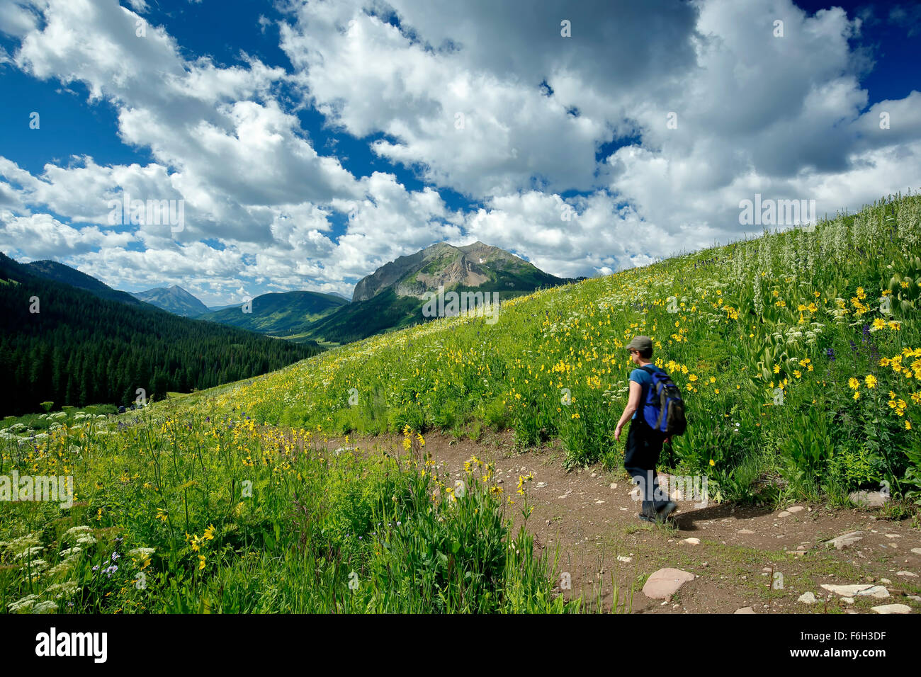 Wildflowers, hiker on Trail No. 401 and Gothic Mountain (12,631 ft.), Gunnison National Forest, near Crested Butte, - Stock Image