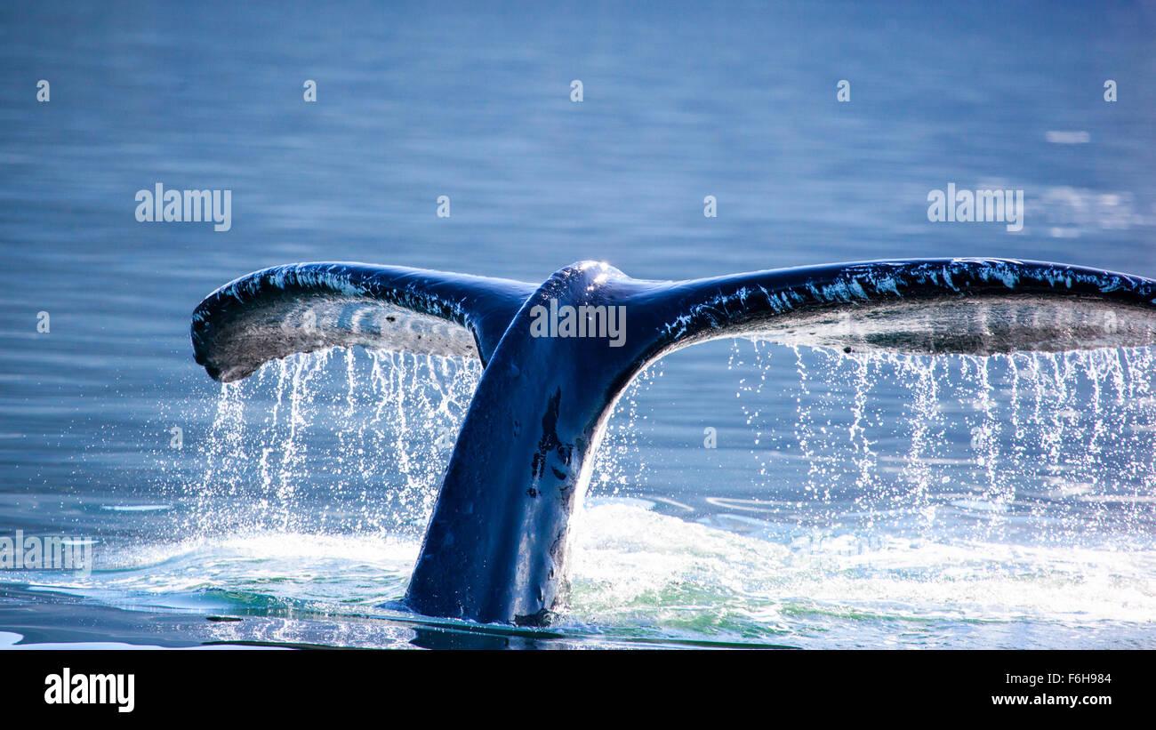 Humpback Whale tail, Juneau, Alaska - Stock Image