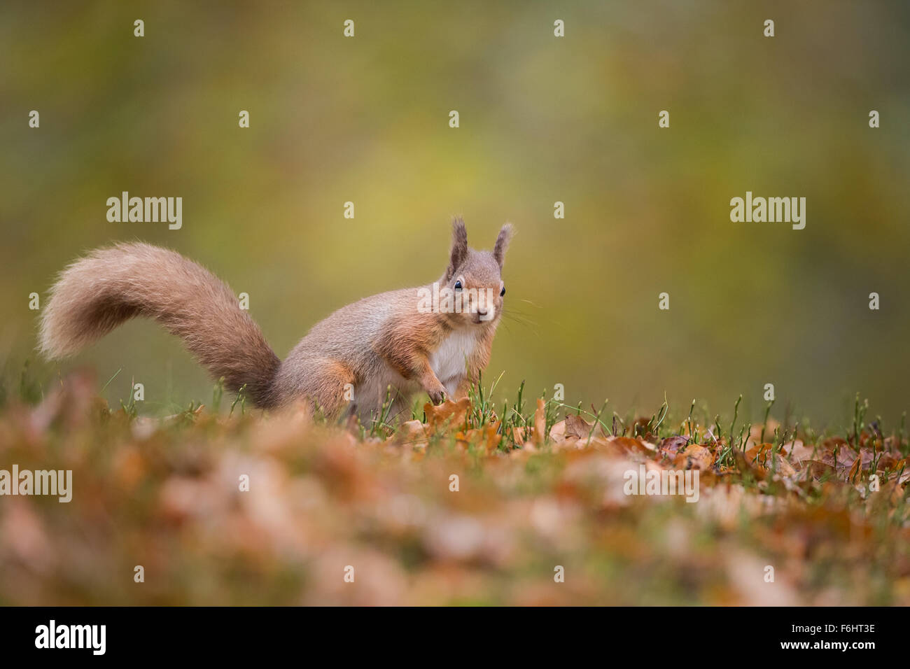 Red Squirrel (Sciurus Vulgaris) in a forest in the Cairngorms National Park, Scotland. Stock Photo