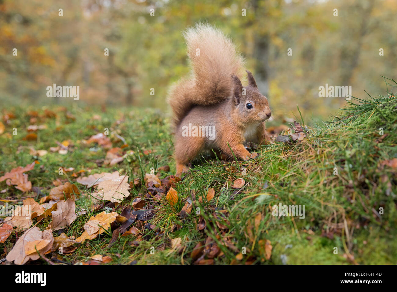 Red Squirrel (Sciurus Vulgaris) pictured stood in a forest in the Cairngorms National Park, Scotland. - Stock Image