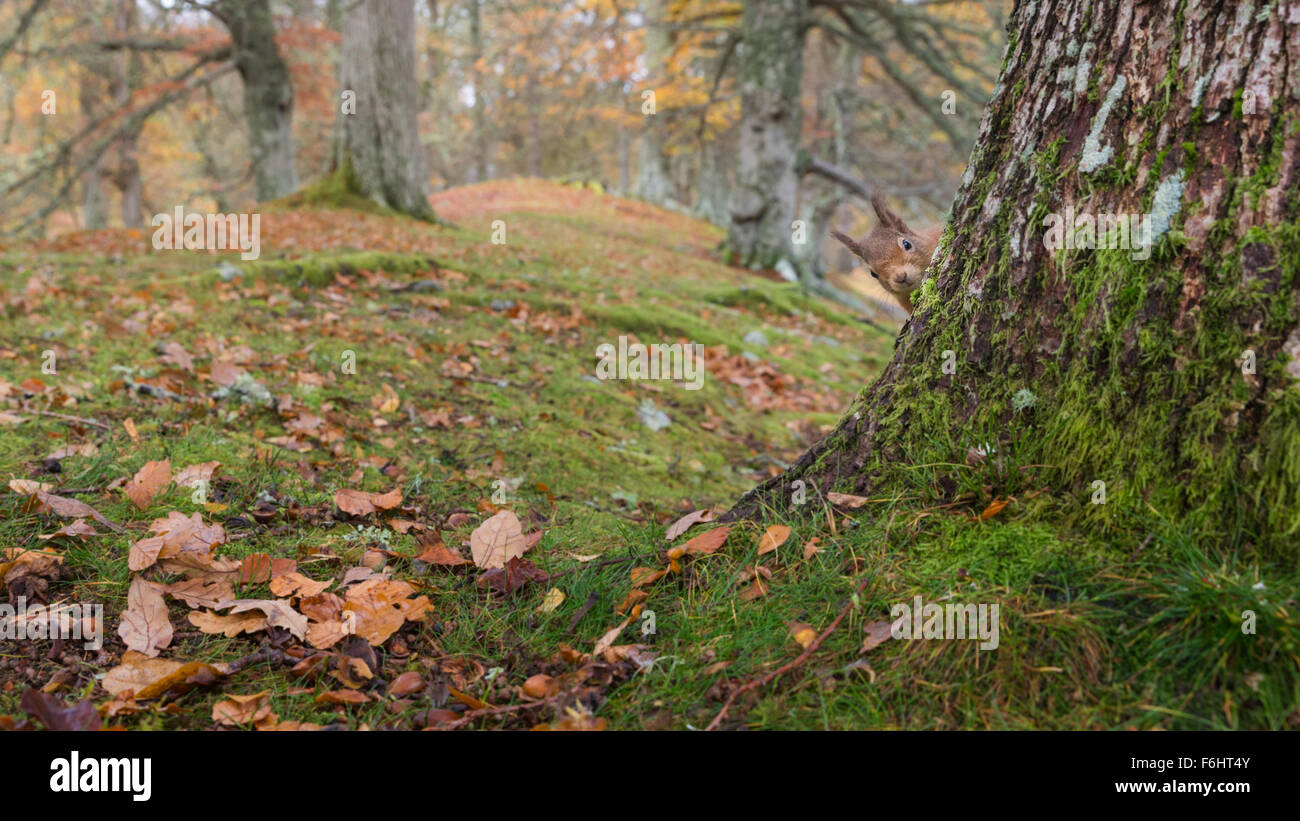 Red Squirrel (Sciurus Vulgaris) pictured peeking around from a tree in a forest in the Cairngorms National Park, Stock Photo