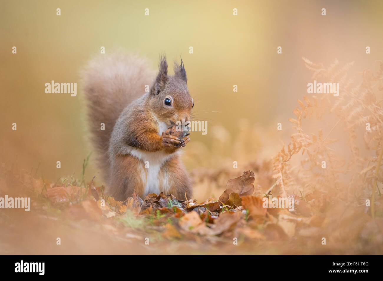Red Squirrel (Sciurus Vulgaris) pictured eating a nut in a forest in the Cairngorms National Park, Scotland. - Stock Image