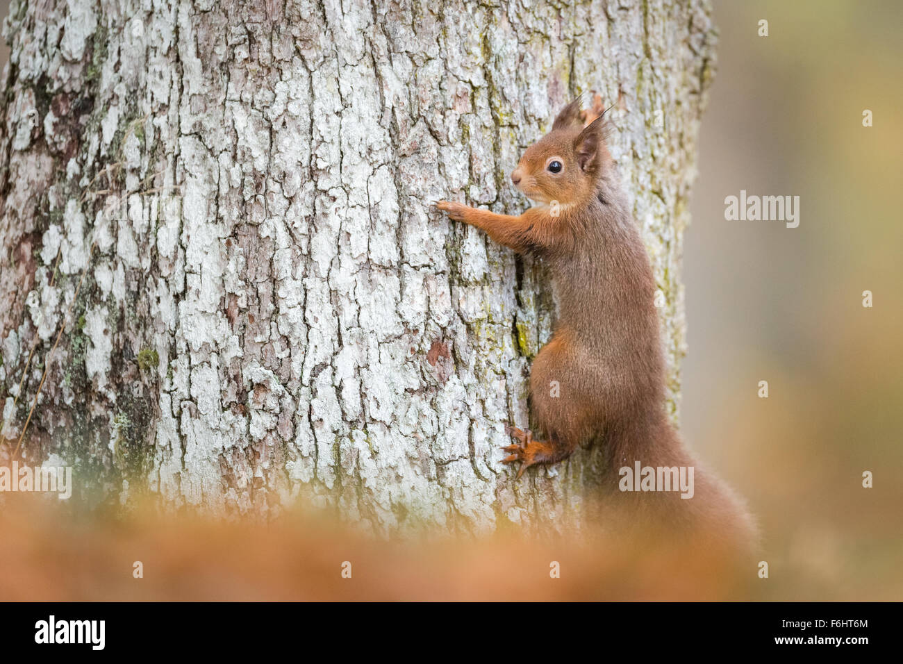 Red Squirrel (Sciurus Vulgaris) pictured clasping onto a Scots pine tree in a forest in the Cairngorms National - Stock Image