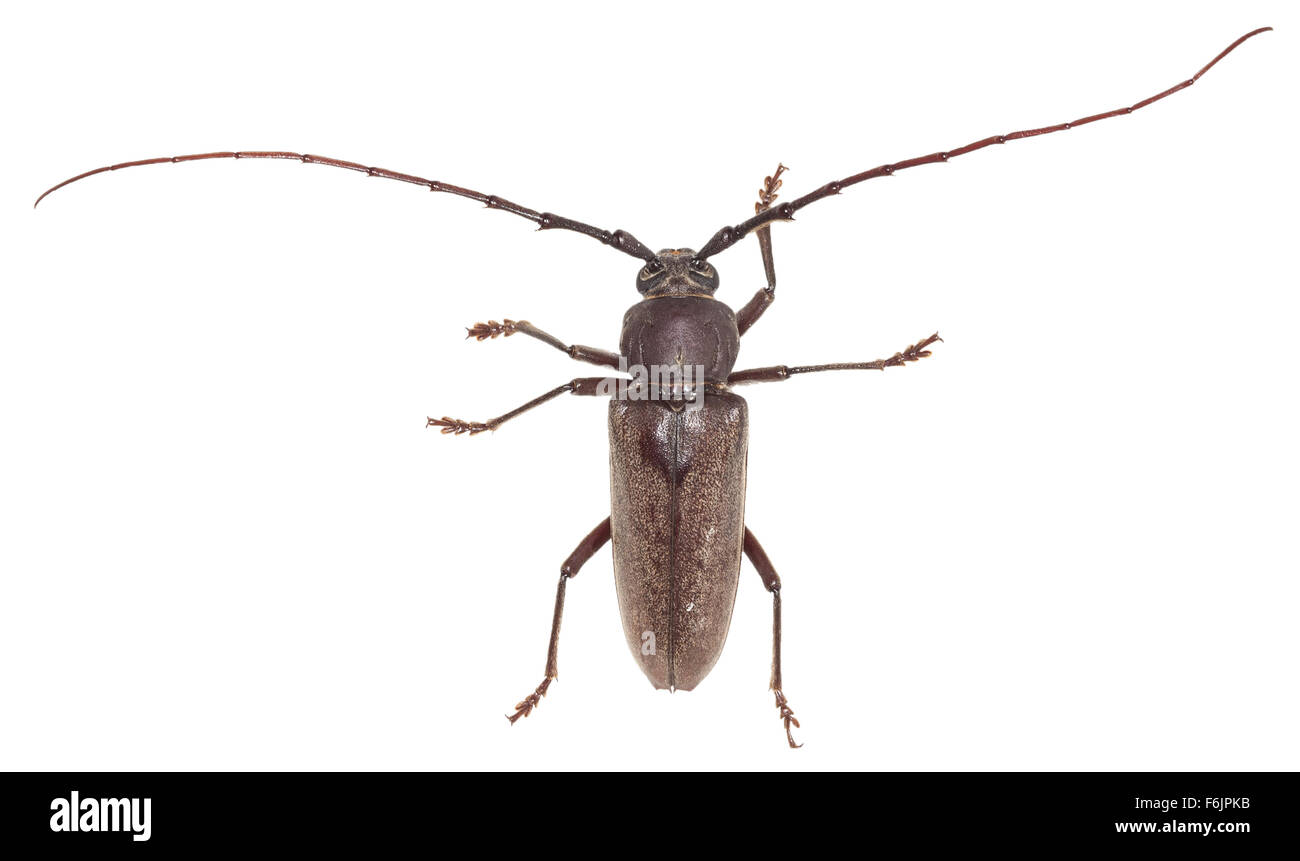 Long-horned wood-boring beetle with very long antennae. Photographed on a white background. - Stock Image