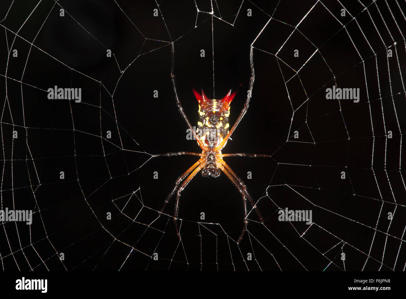 A colorful spiny orb-weaving spider waits for prey at the center of its web. - Stock Image