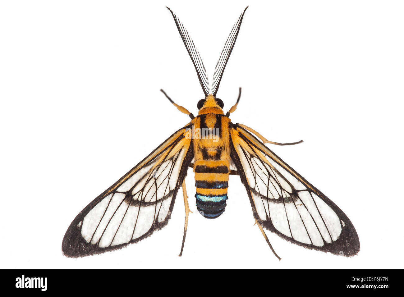 This moth is a wasp mimic - a classic example of Batesian mimicry.  Photographed on a white background. - Stock Image