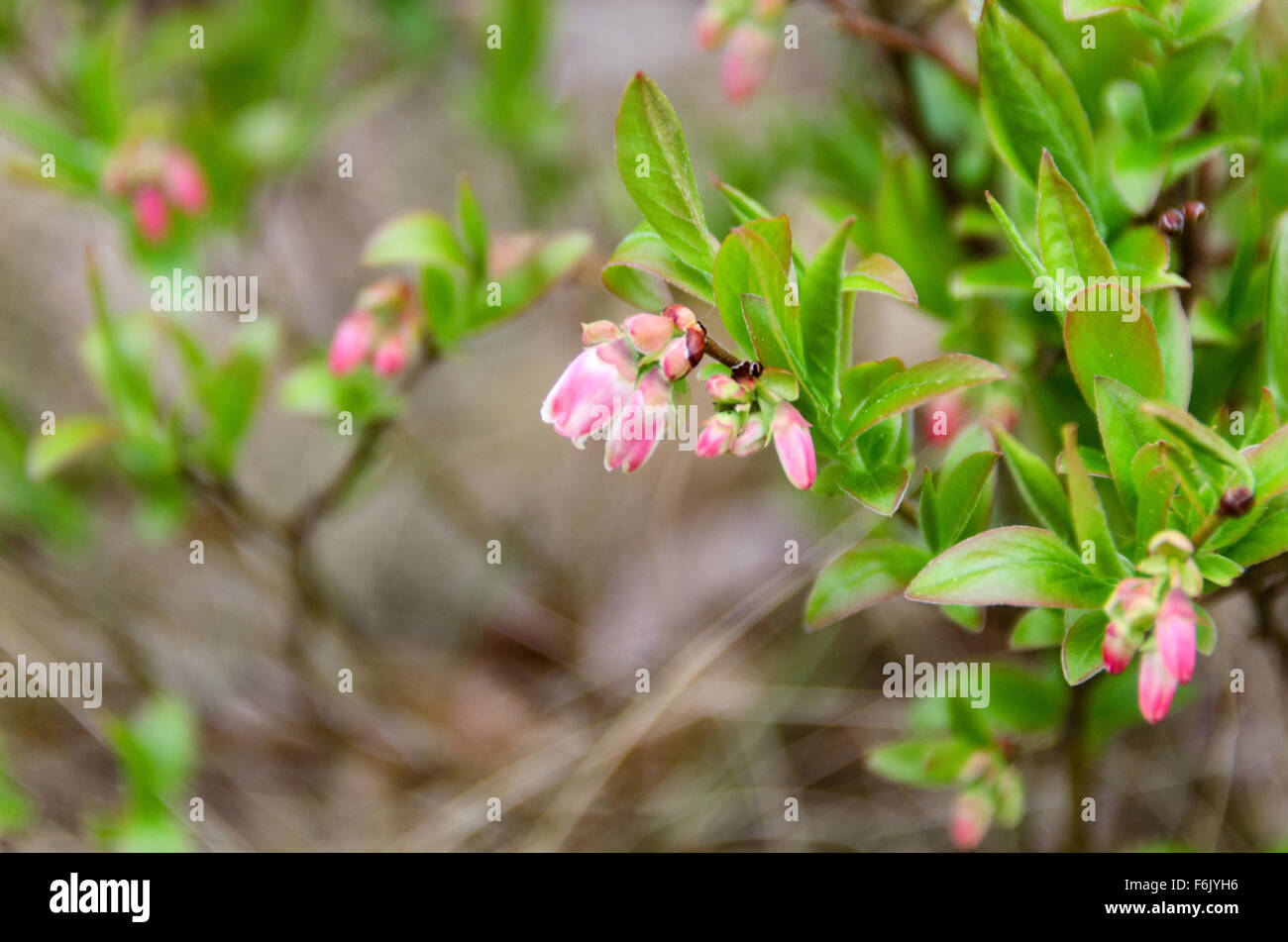 Close-up view of wild lowbush blueberry (Vaccinium angustifolium) flowers in May, Acadia National Park, Maine. - Stock Image