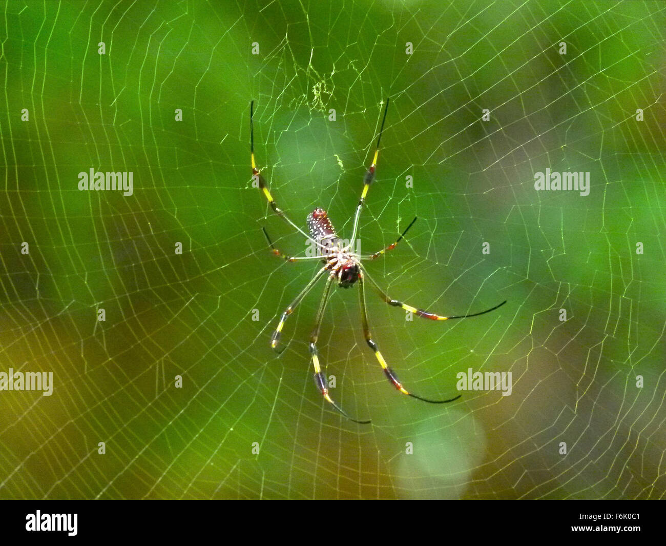 Nature, Spider, Spiders, Webs, Jungle, Animals, Insects - Stock Image