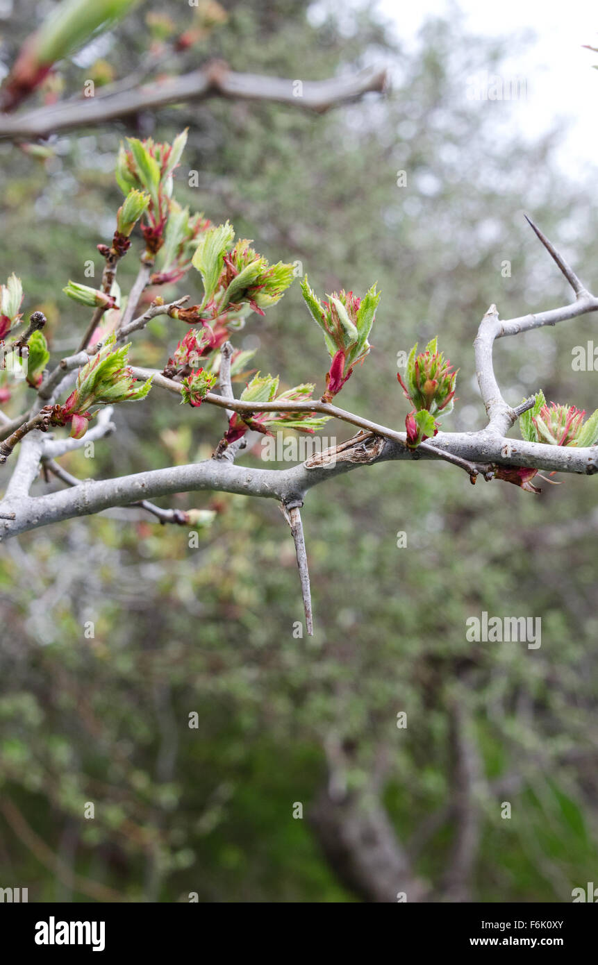 New leaves unfurling on a wild hawthorn tree in Otter Creek, Acadia National Park, Maine. Stock Photo