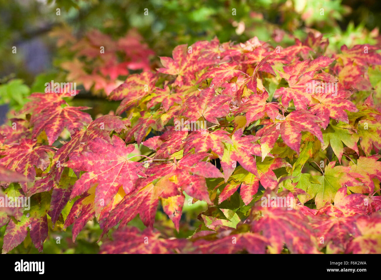 Acer Palmatum Autumn Moon Stock Photos Acer Palmatum Autumn Moon