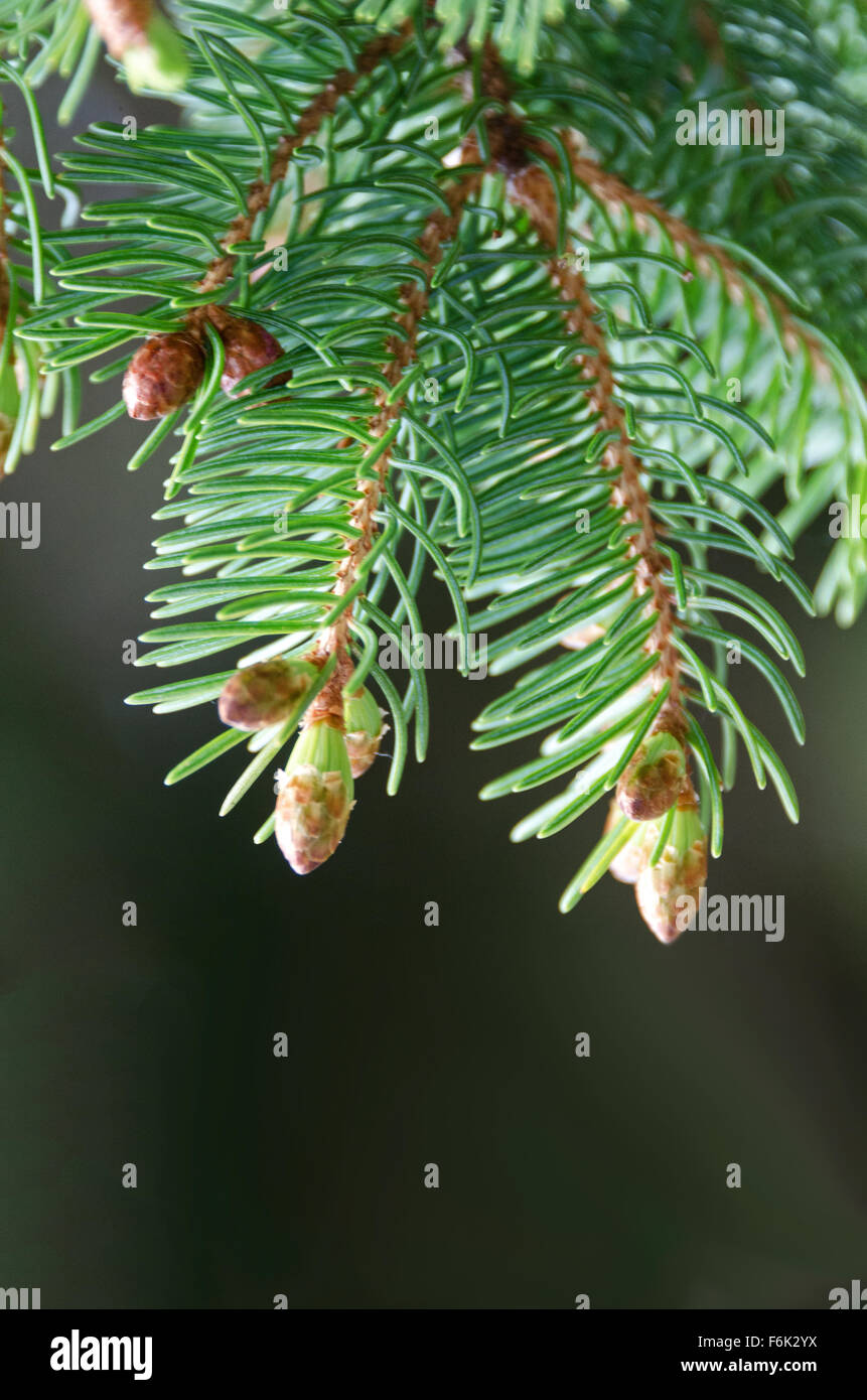 Close-up view of new leaves sprouting at the tip of Red Spruce (Picea rubens) twigs, with young cones in the background, Stock Photo