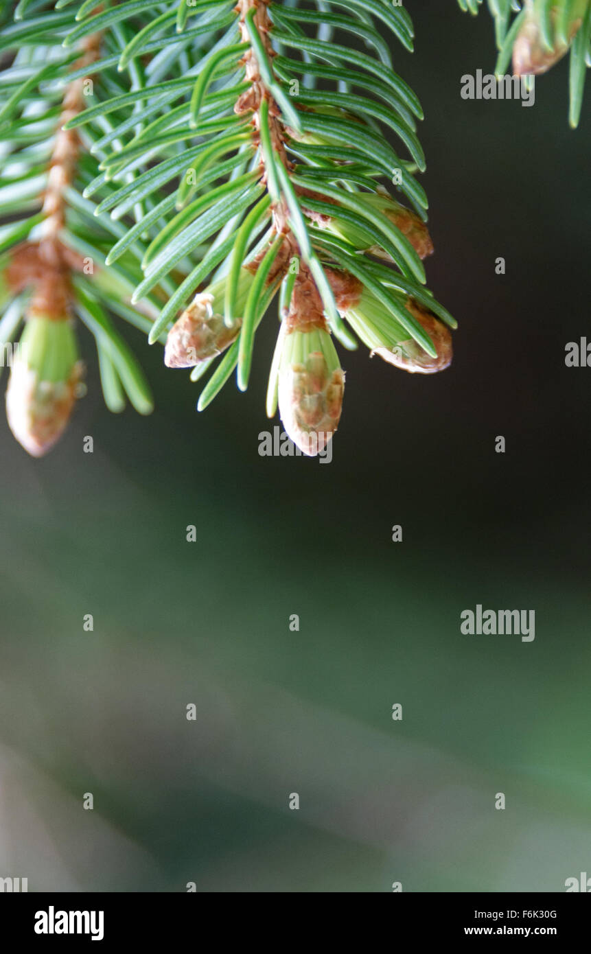 Close-up view of new needles sprouting at the tip of Red Spruce (Picea rubens) twigs, Maine. Stock Photo