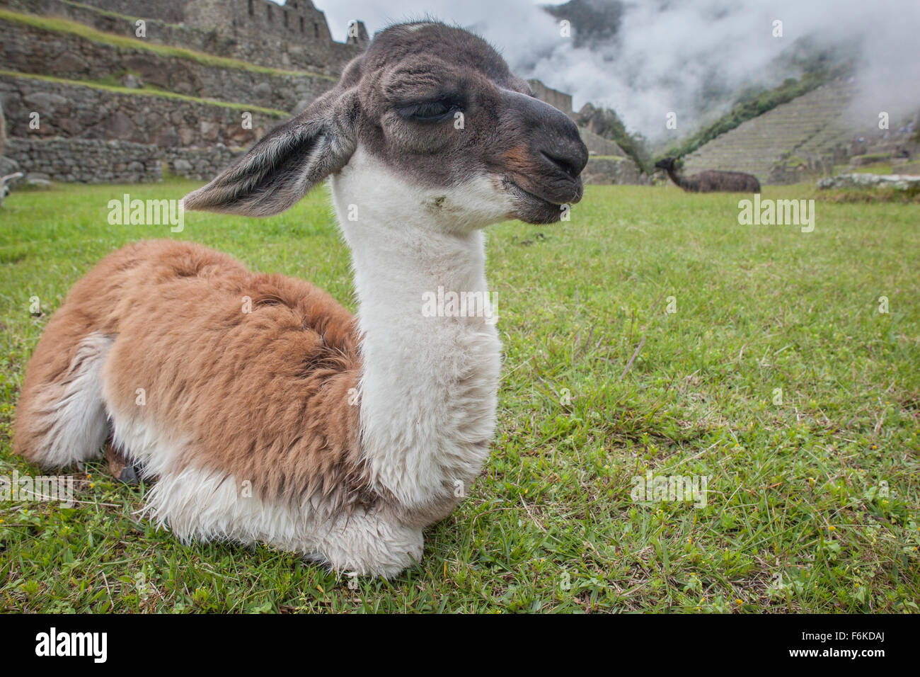 A young llama (cria) rests in front of ancient Incan ruins at Machu Picchu, Peru. - Stock Image