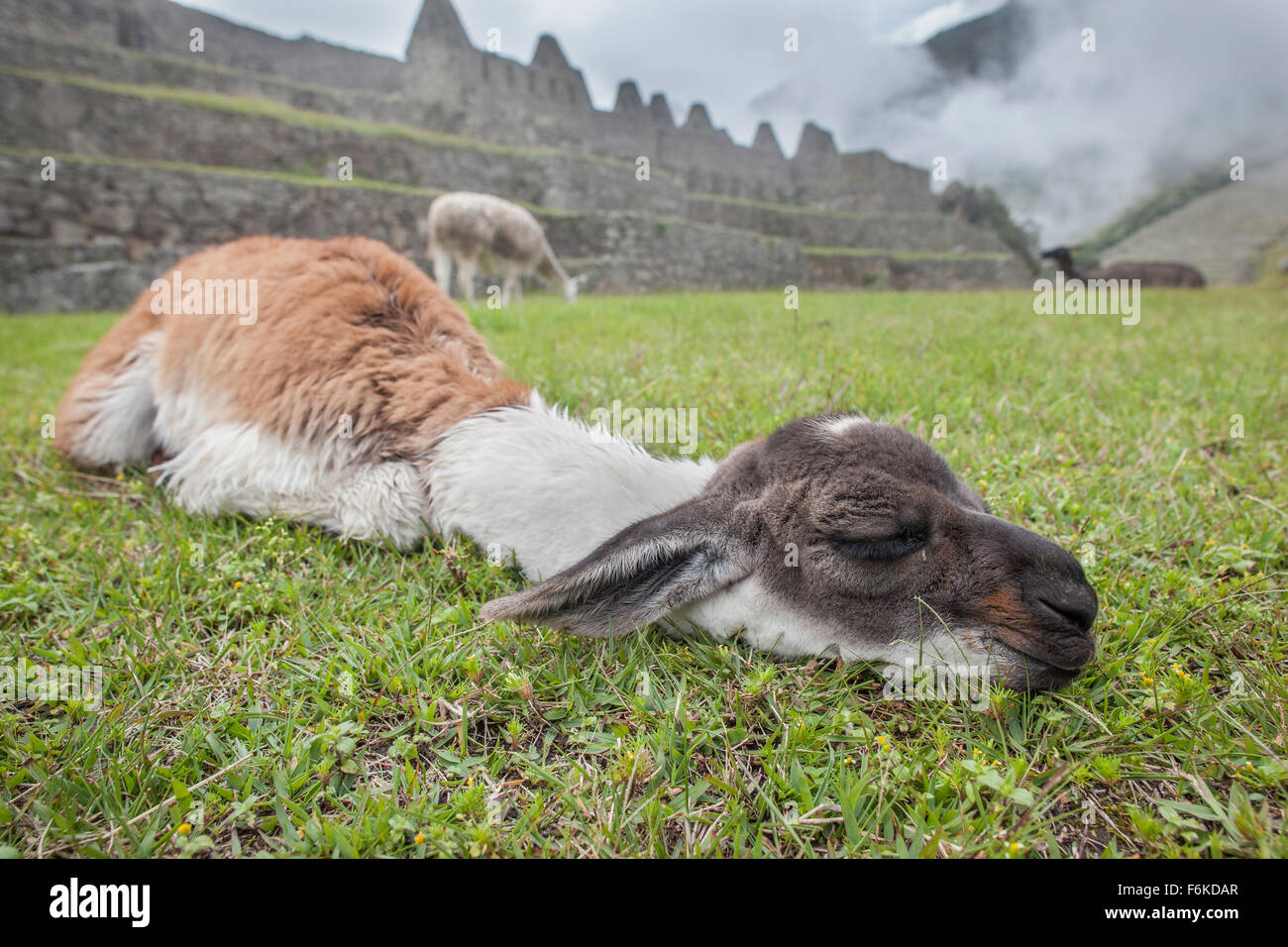 A young llama (cria) dozes in front of ancient Incan ruins at Machu Picchu, Peru. - Stock Image