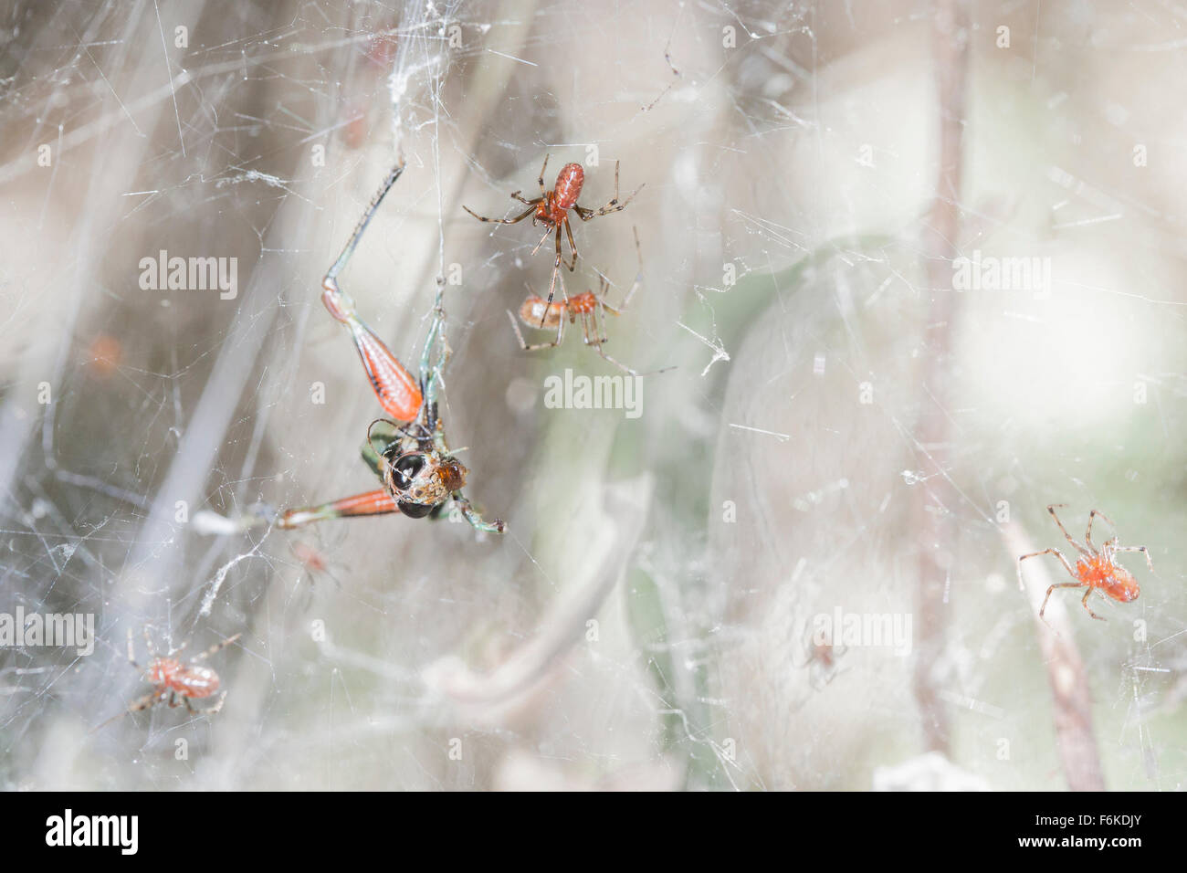 Communal web-weaving spiders can take much larger prey (e.g, this grasshopper) than any one individual spider could - Stock Image