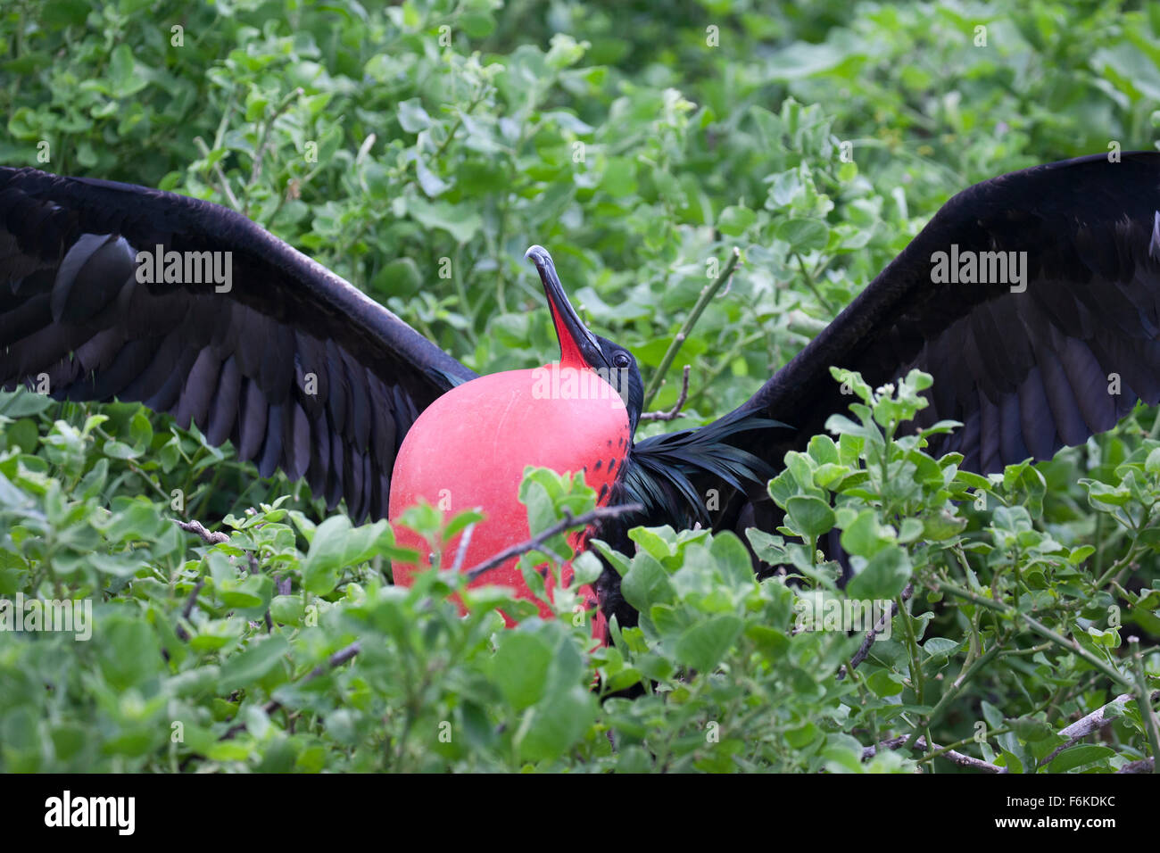 Great frigatebird (Fregata minor) displaying with inflated gular sac (throat pouch). - Stock Image