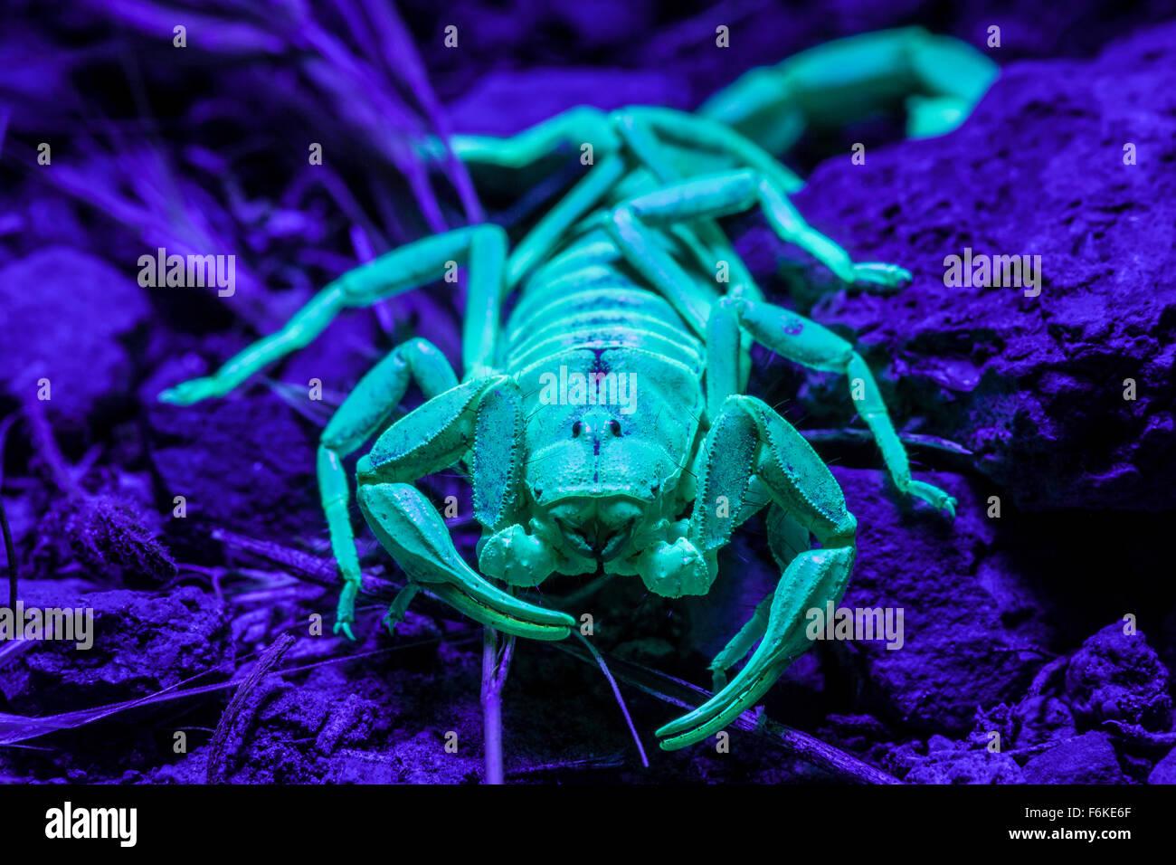 Desert hairy scorpion (Hadrurus spadix) in eastern Oregon, USA, fluorescing under ultraviolet light. - Stock Image