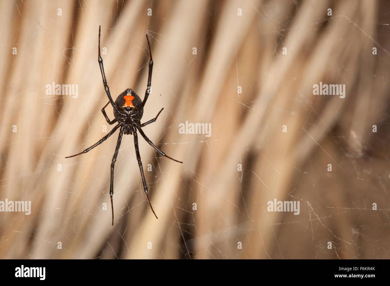 Underside of a western black widow spider (Latrodectus hesperus) in its web. - Stock Image