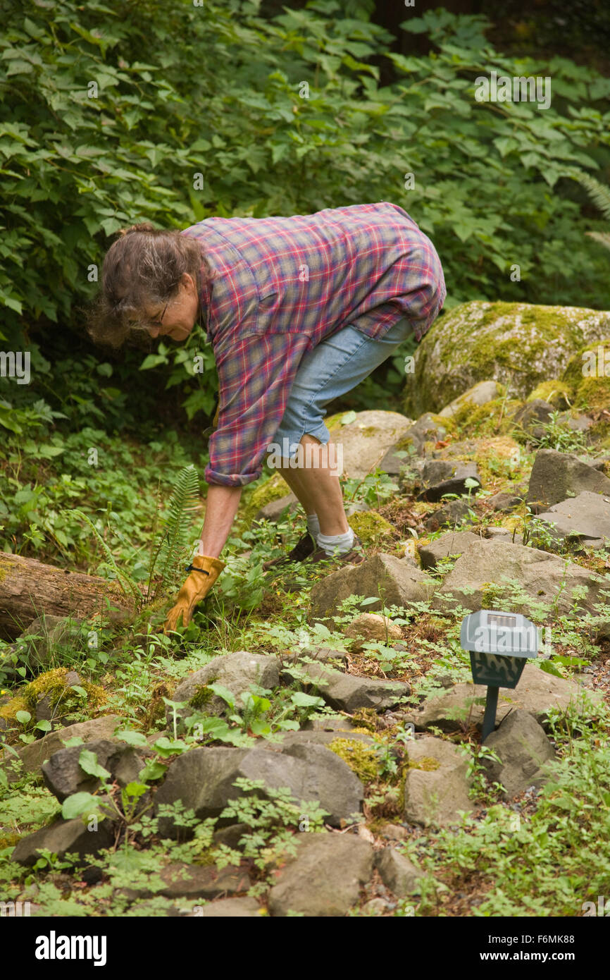 Woman pulling weeds in a shady, rocky area of her yard in Issaquah, Washington, USA - Stock Image