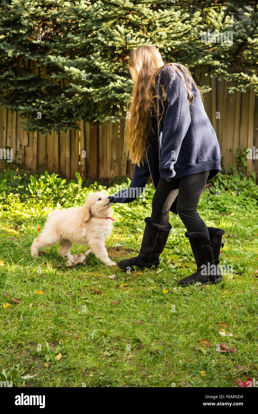Ten week old Goldendoodle puppy tugging on the sweatshirt sleeve of a ten year old girl in Issaquah, Washington, - Stock Image