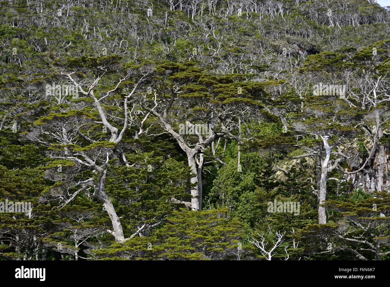 Typical humid and impenetrable structure of multilayered ever-green beech and winter's bark forest. Hoppner - Stock Image