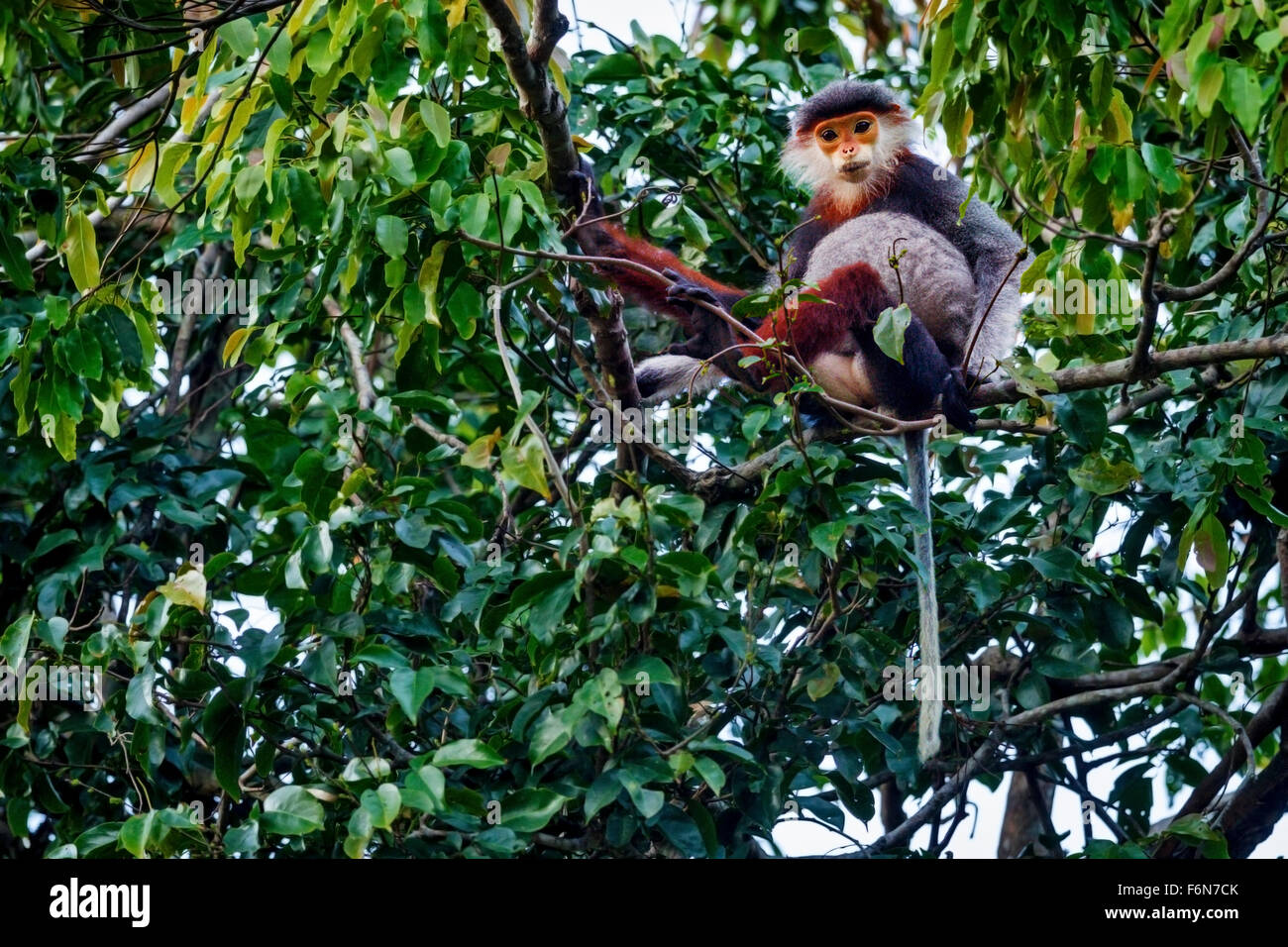 Red-shanked douc feeding in the canopy at Son Tra nature reserve in Vietnam - Stock Image