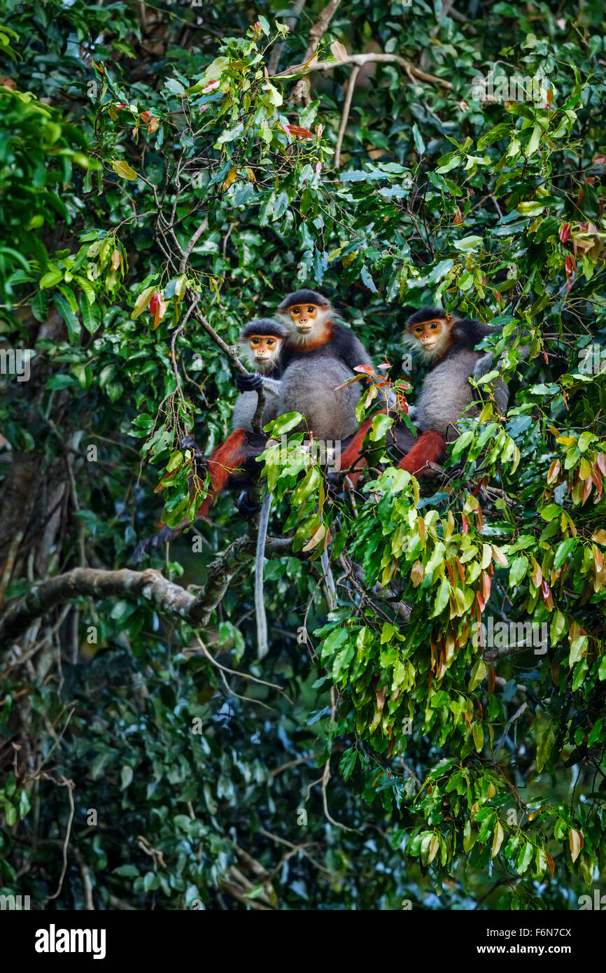 Red-shanked douc family group feeding in the canopy at Son Tra nature reserve in Vietnam - Stock Image