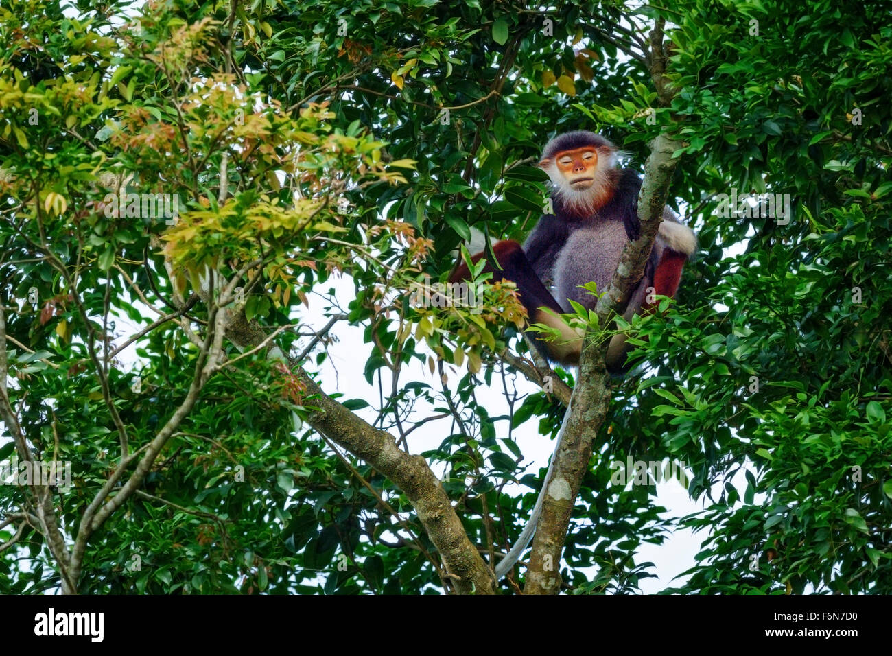 Adult male Red-shanked douc resting in the canopy at Son Tra nature reserve in Vietnam - Stock Image