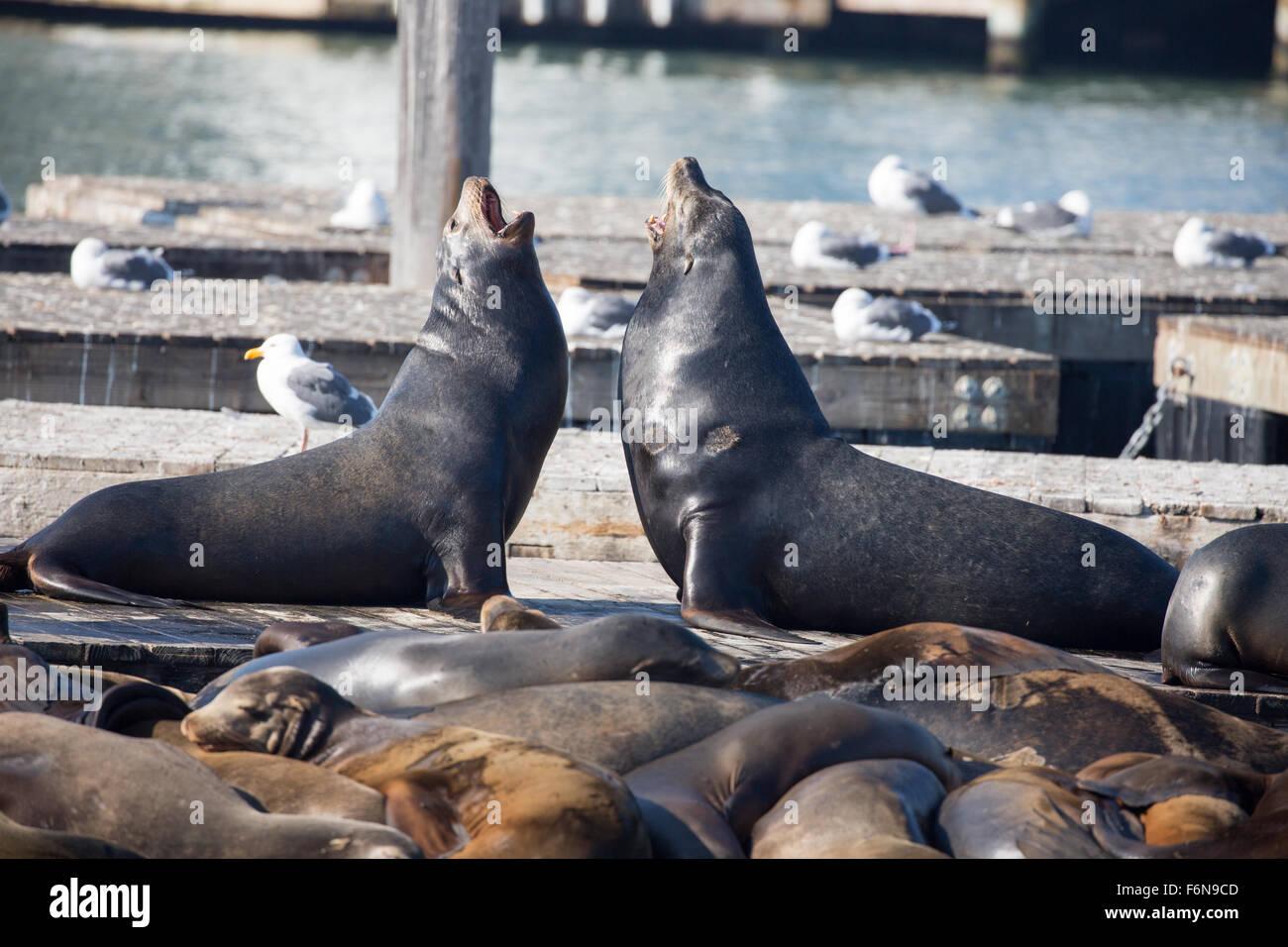 California Sea Lions Males Otariinae Fisherman S Wharf San Stock Photo Alamy
