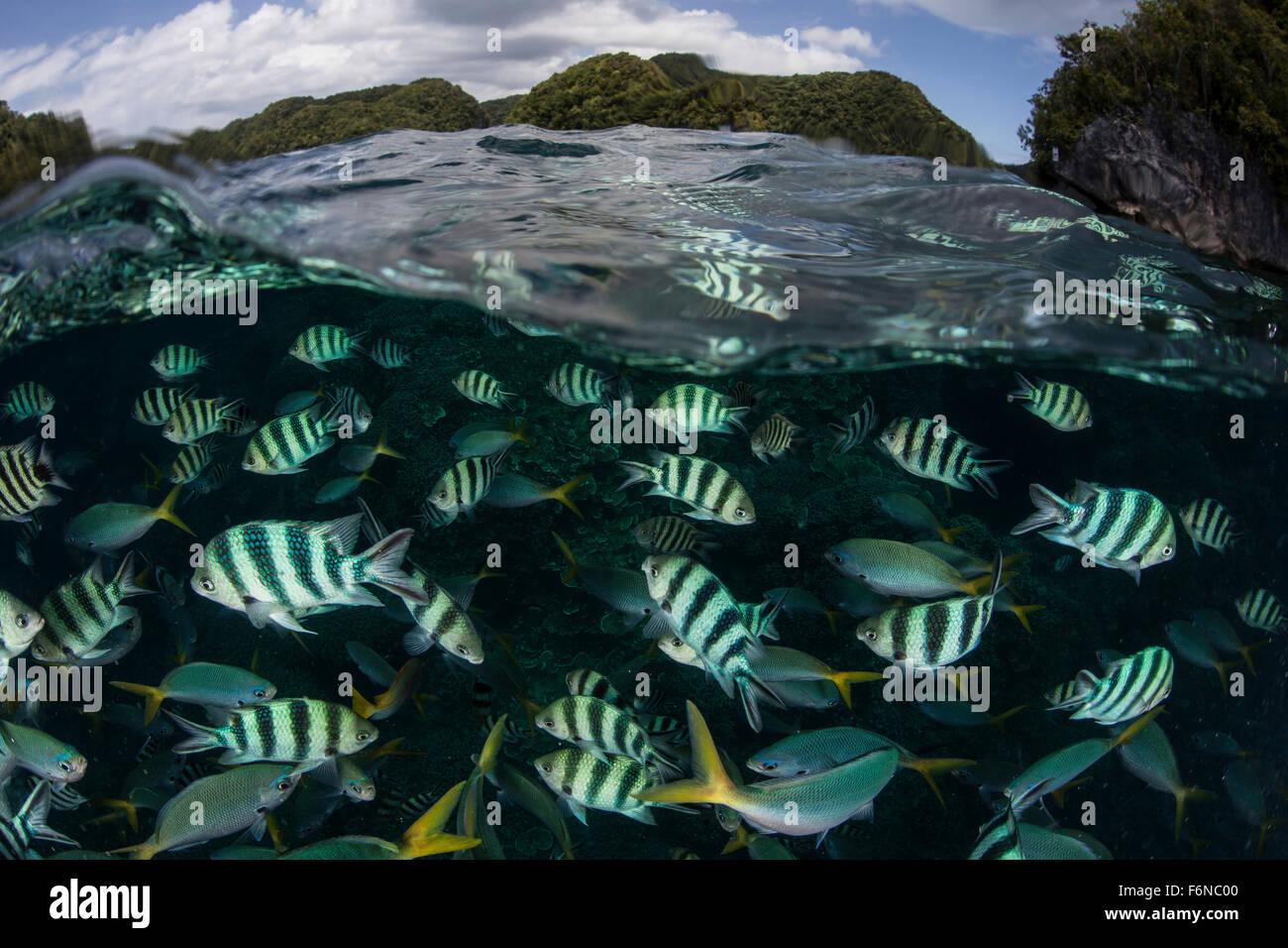 School of large damselfish in Palau's inner lagoon. This Micronesian destination is popular among scuba divers - Stock Image
