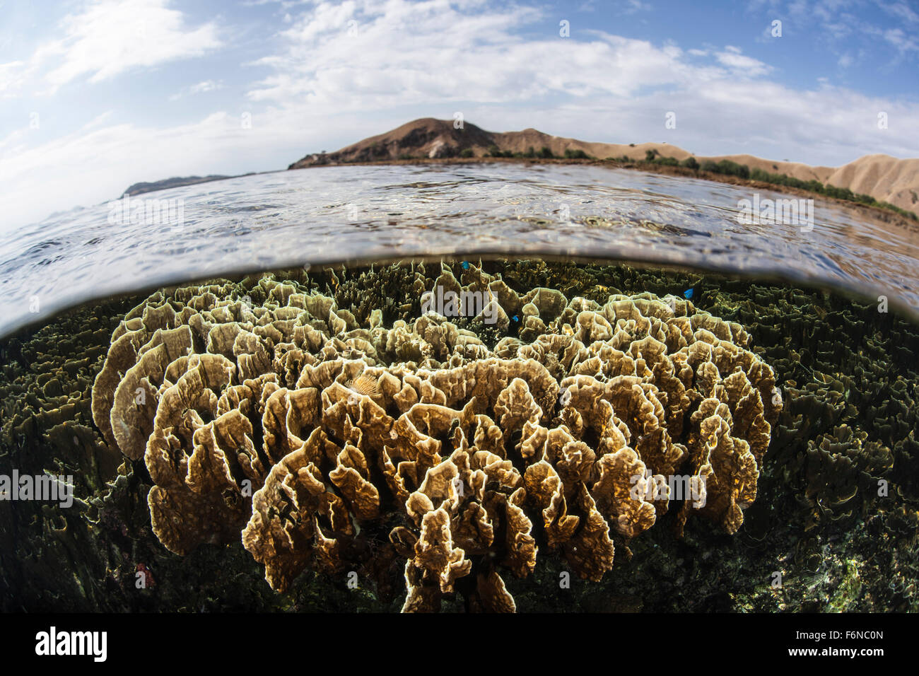A fire coral colony grows in extremely shallow water in Komodo National Park, Indonesia. This part of the Coral - Stock Image