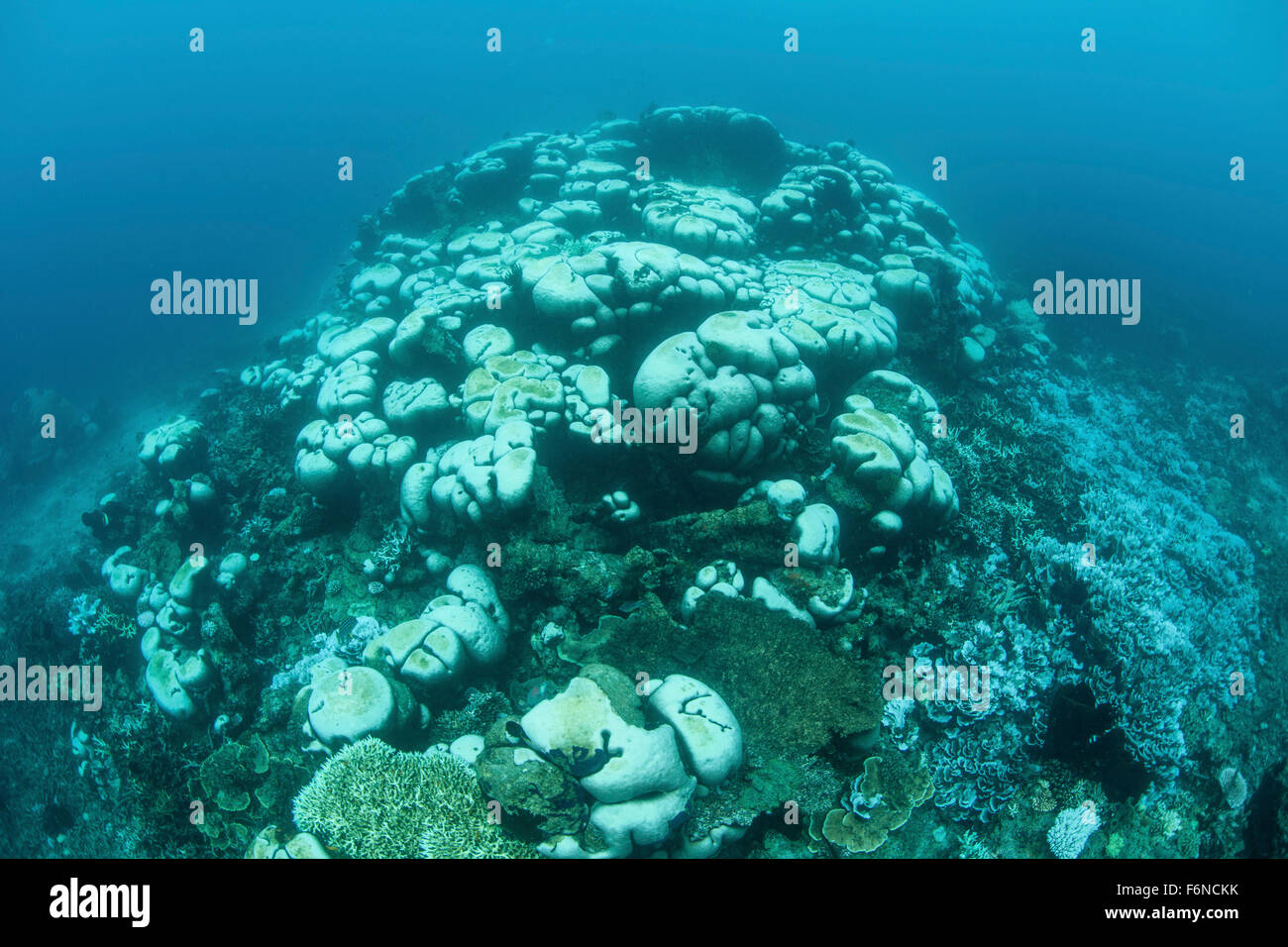Corals are beginning to bleach on a reef in Indonesia. Bleaching occurs as corals expel their endosymbionts (zooxanthellae) - Stock Image