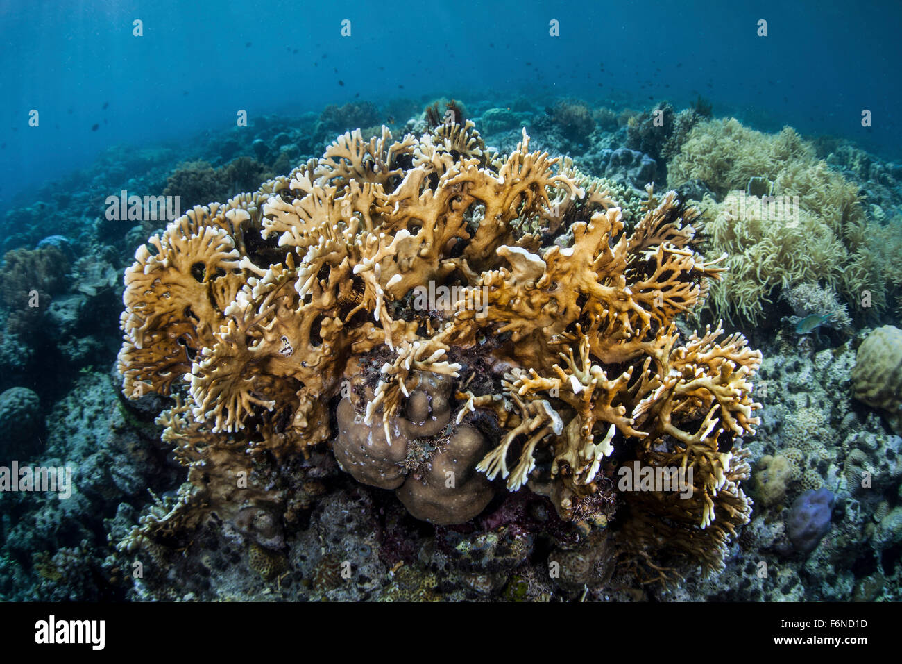 A colony of fire coral grows in shallow water near Alor, Indonesia. This remote region is known for its beautiful - Stock Image