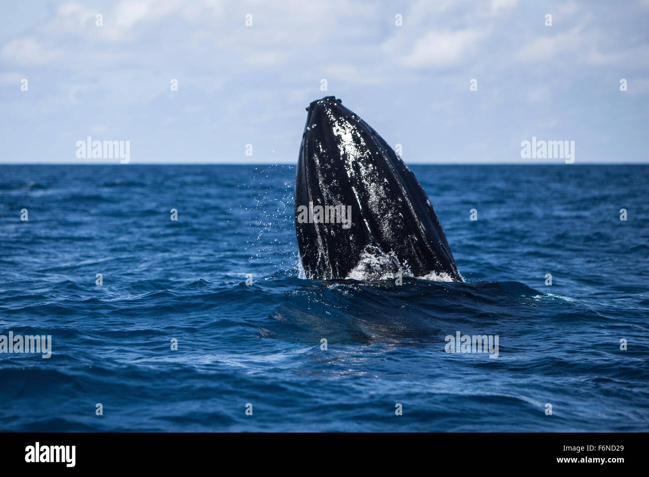 A humpback whale (Megaptera novaeangliae) spy hops out of the Atlantic Ocean. Why these huge whales breach, which - Stock Image