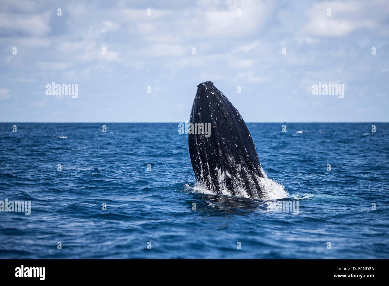 A large humpback whale (Megaptera novaeangliae) begins to breach out of the Atlantic Ocean. Why these huge whales Stock Photo