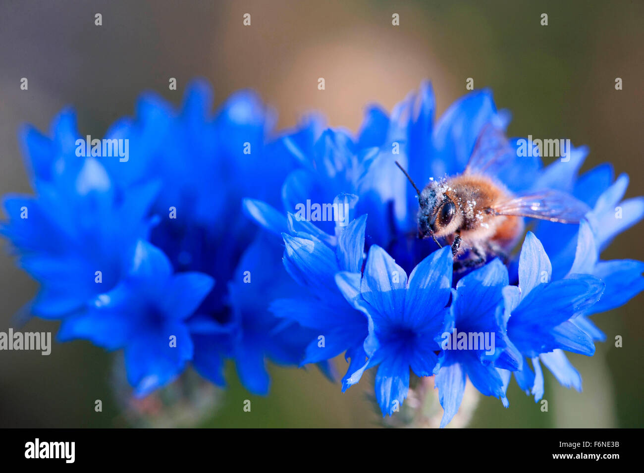 Bachelor button flower, himachal pradesh, india, asia - Stock Image