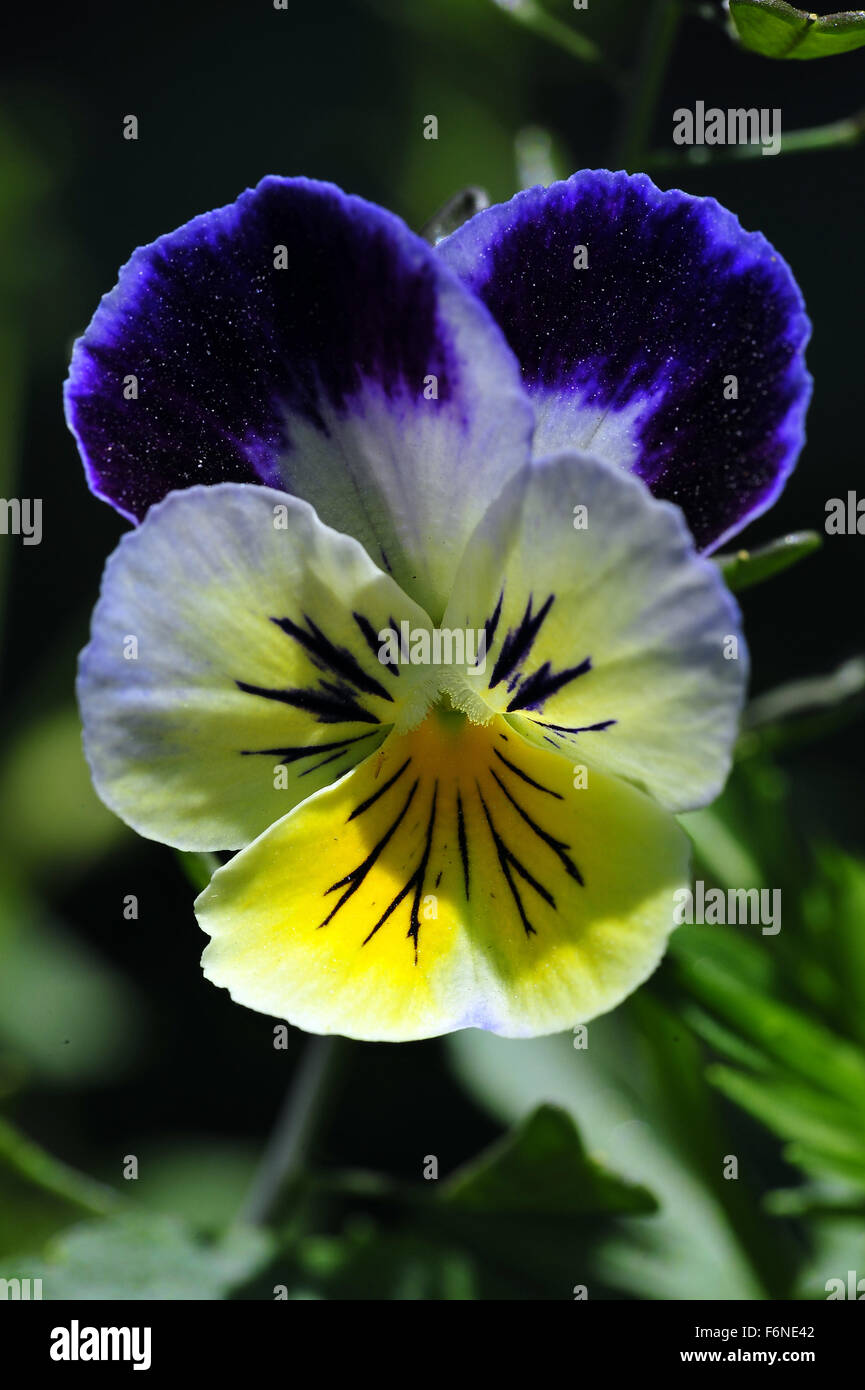 Viola spp flower, himachal pradesh, india, asia - Stock Image