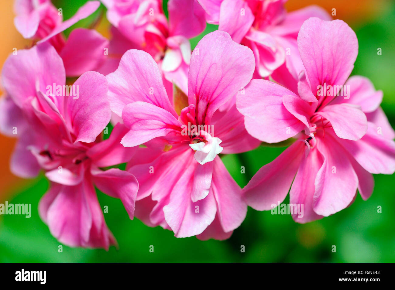 Pelargonium x hortorum, himachal pradesh, india, asia - Stock Image