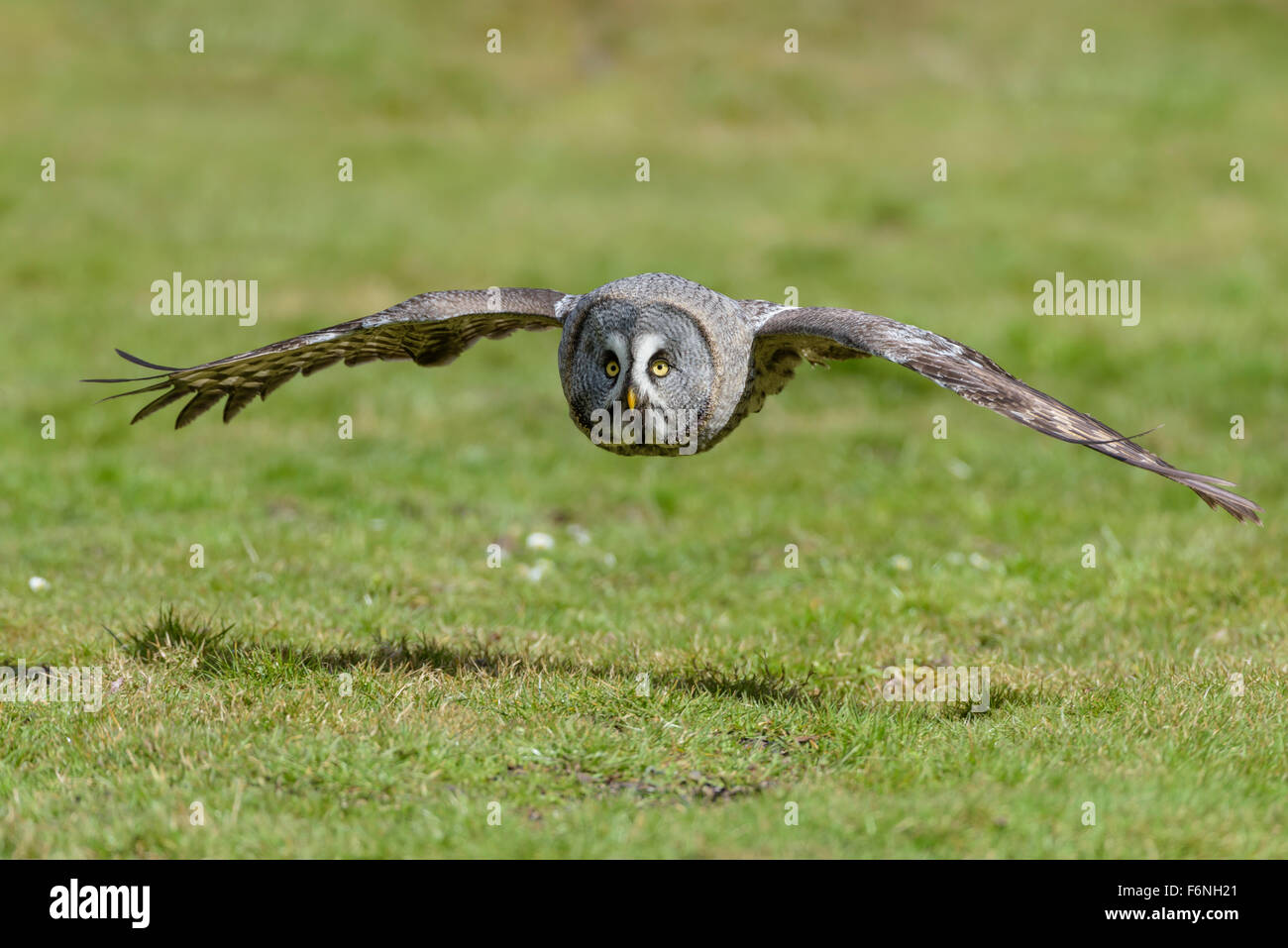 Bartkauz, Strix nebulosa, Great gray owl Stock Photo