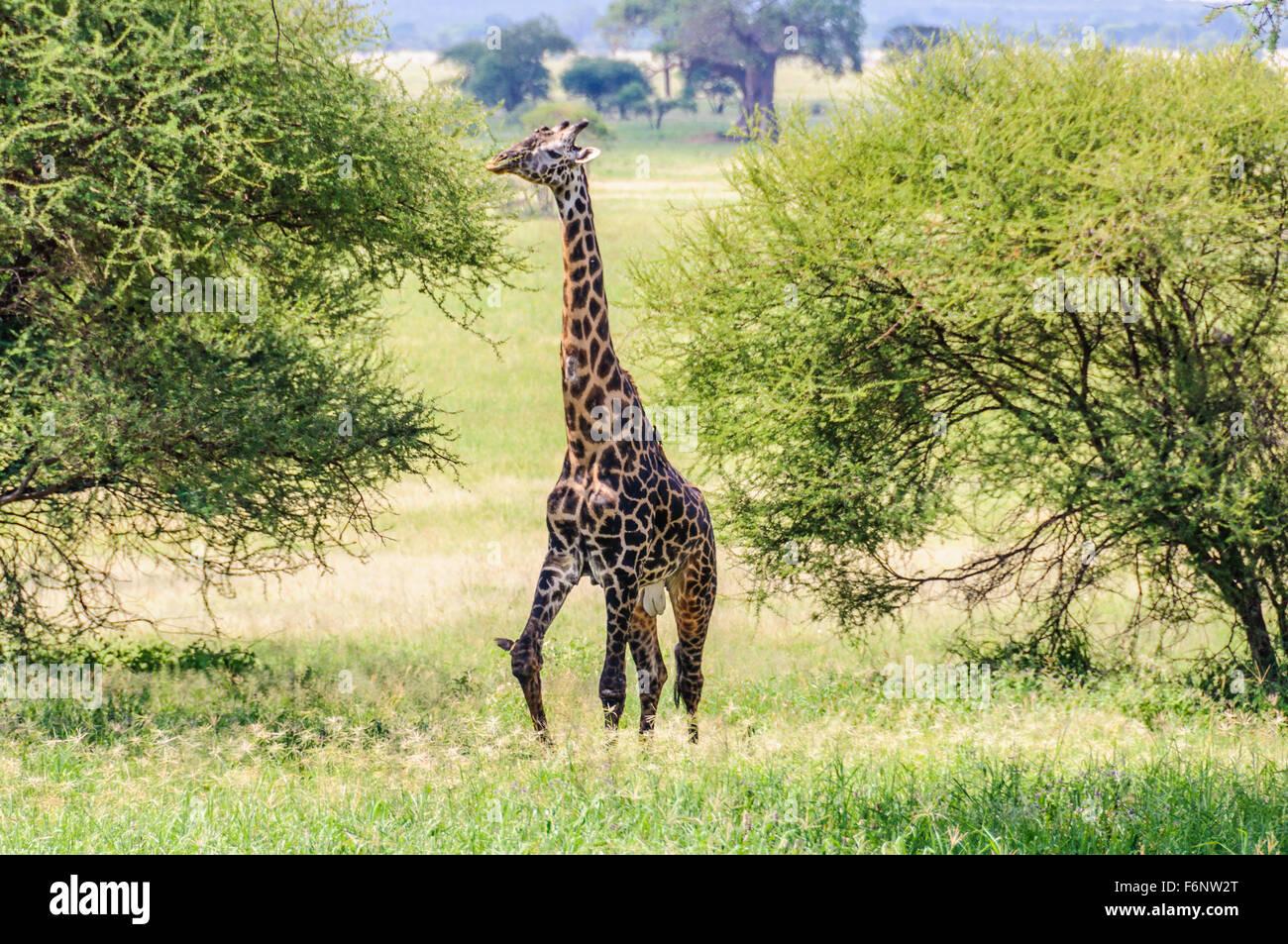 Eating giraffe in the Tarangire National Park, Tanzania - Stock Image