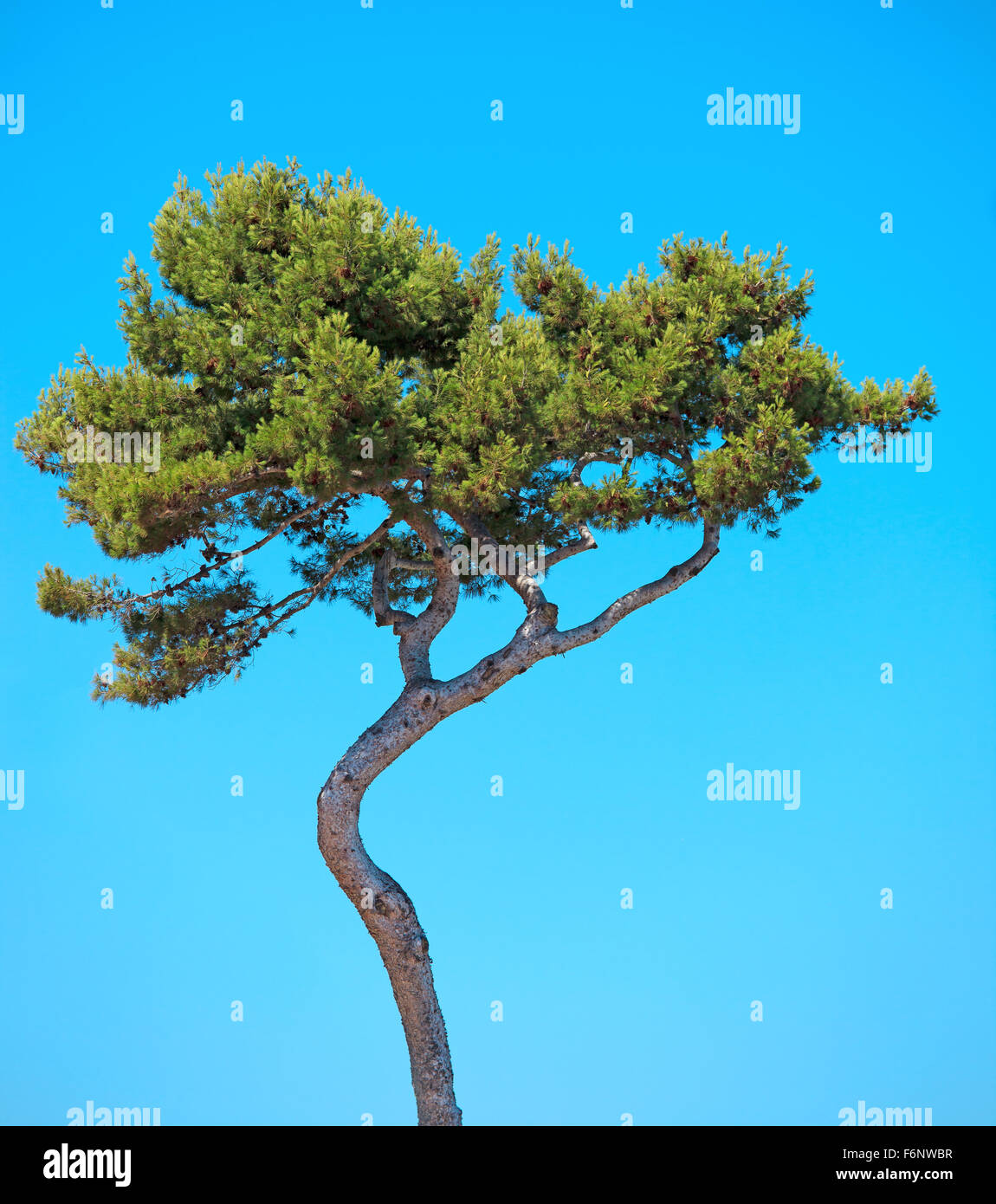 Maritime Pine curved tree, Pinus Pinaster mediterranean plant, isolated on blue sky background. Juan les Pins, Provence, - Stock Image