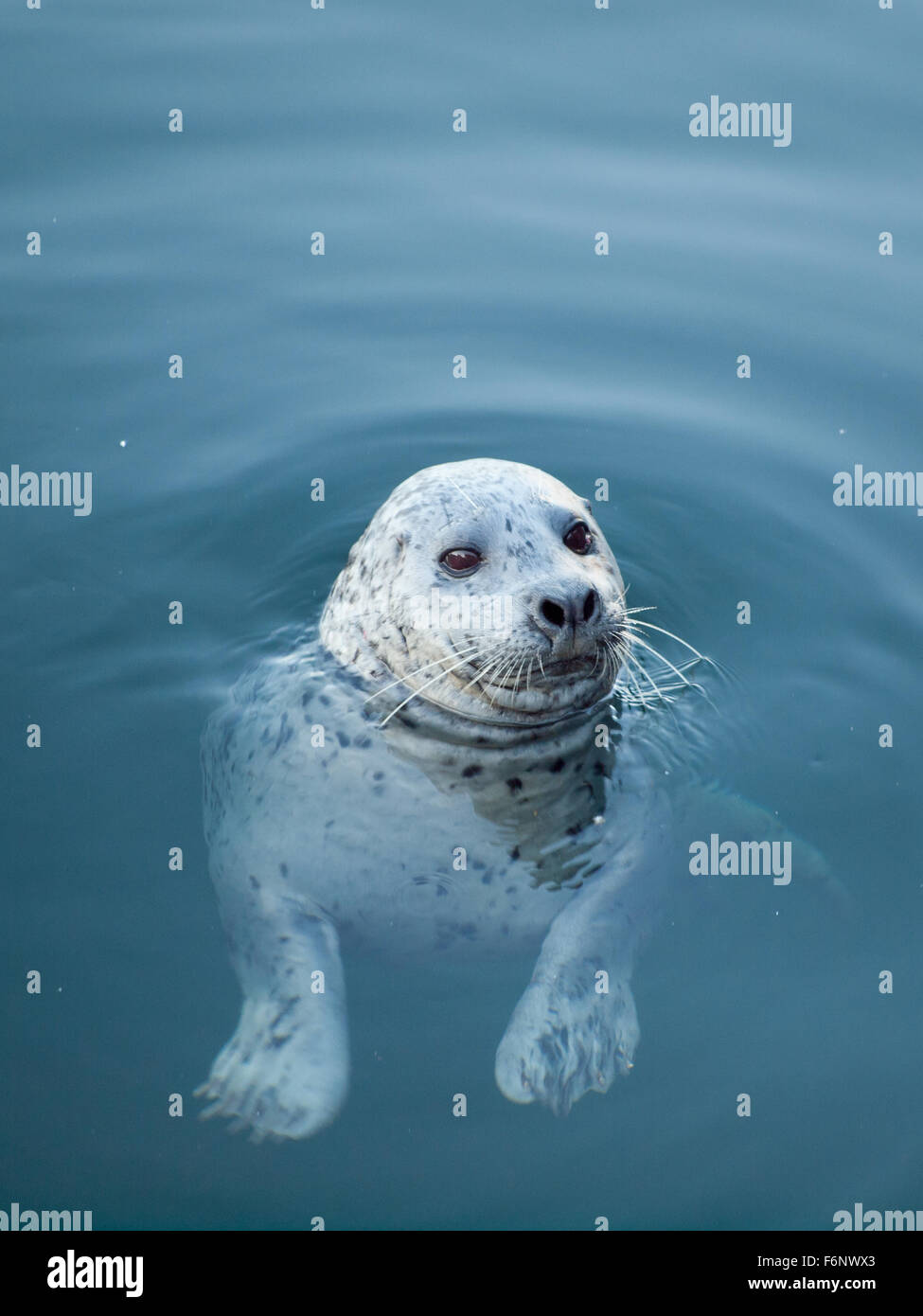 A wild harbour seal (harbor seal) at Fisherman's Wharf in Victoria, British Columbia, Canada. - Stock Image
