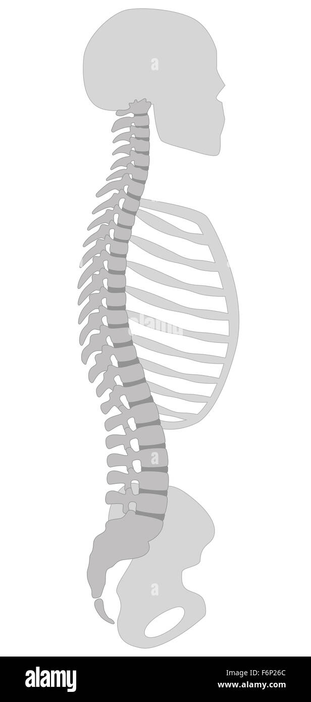 Human spine, skull, thorax and pelvic bone - vertical section. Illustration on white background. - Stock Image
