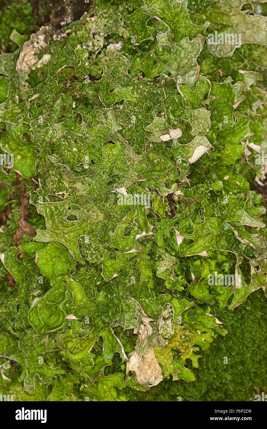 Lungwort, lung lichen, oak lungwort, Echte Lungenflechte, Lungen-Flechte, Lobaria pulmonaria, am Stamm eines Baumes - Stock Image