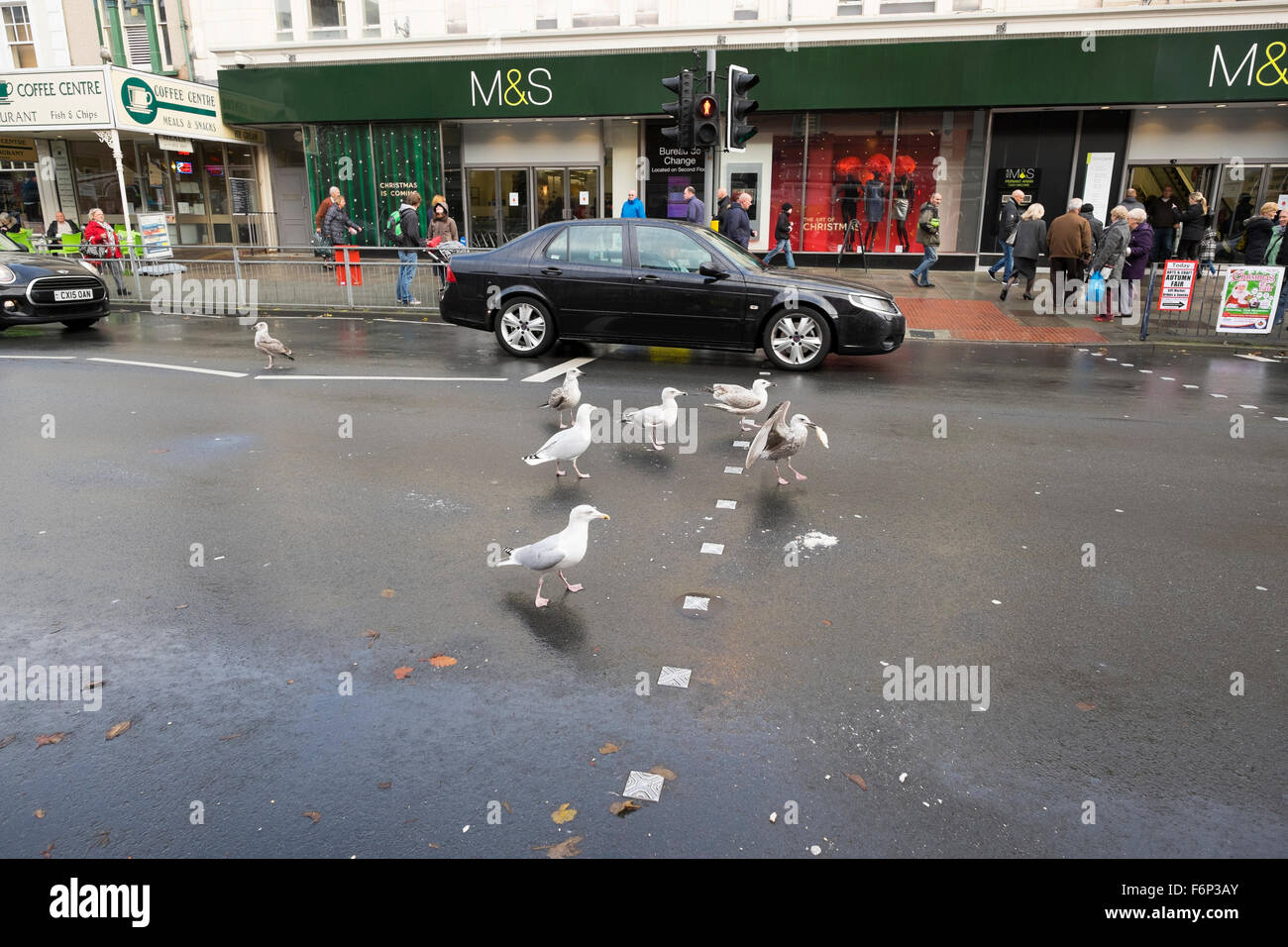 Herring gulls scavenging food off a street in Llandudno, Conwy, Wales. - Stock Image