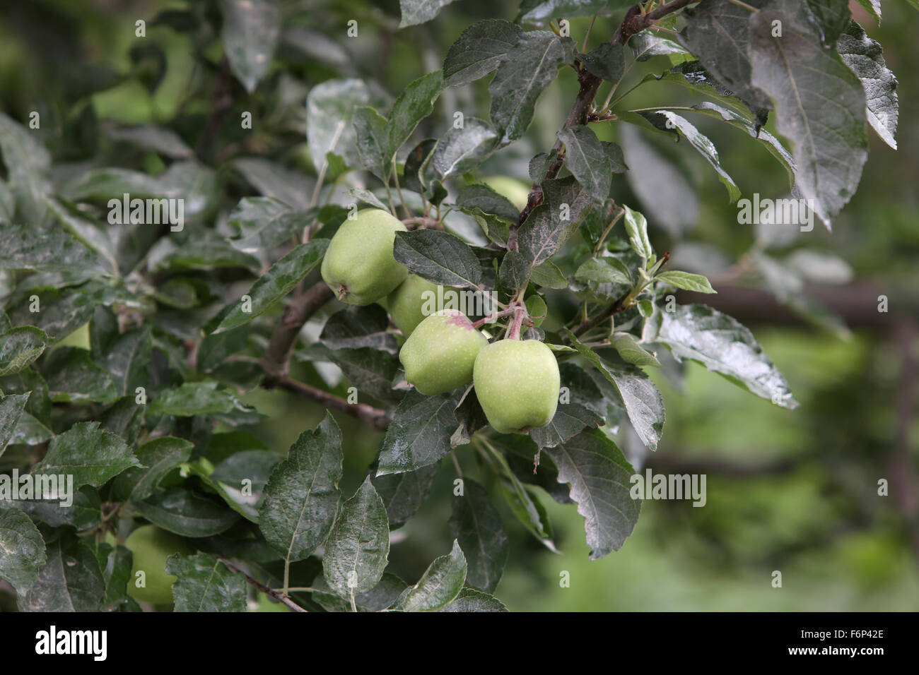SPITI VALLEY - World famous apples Kinnaur , Himachal Pradesh , India - Stock Image