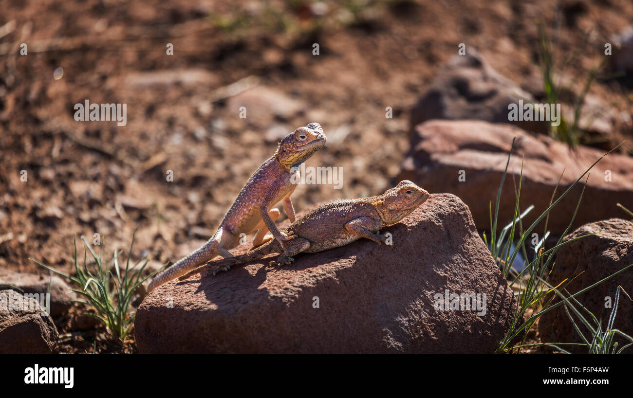 Lizards on a rock in the hot sunshine, Namibia, Africa - Stock Image
