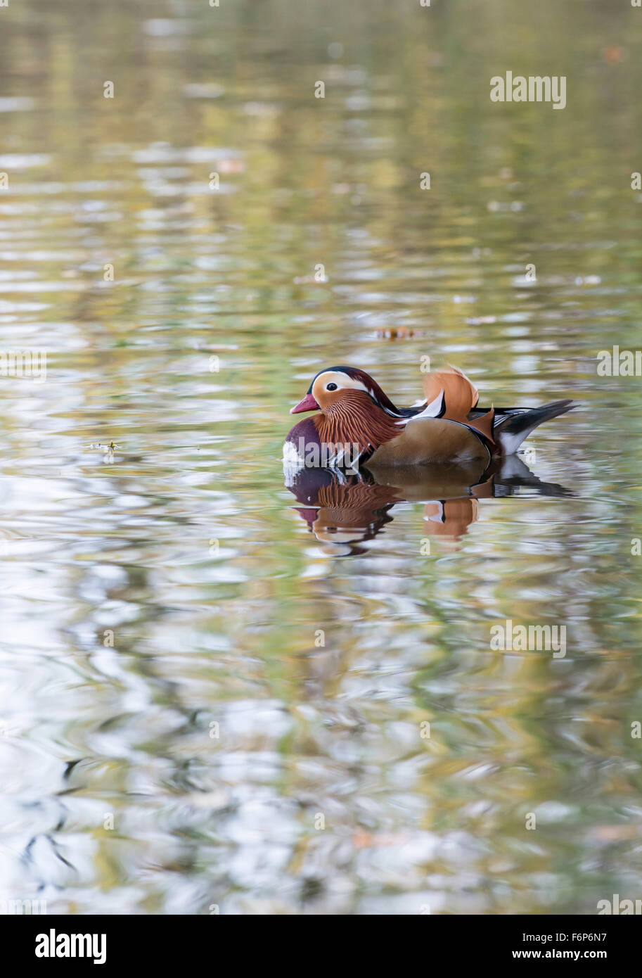 Mandarin duck (Aix galericulata) male (drake). The species is native to Asia, but breeds ferally in parts of Britain and Europe. Stock Photo
